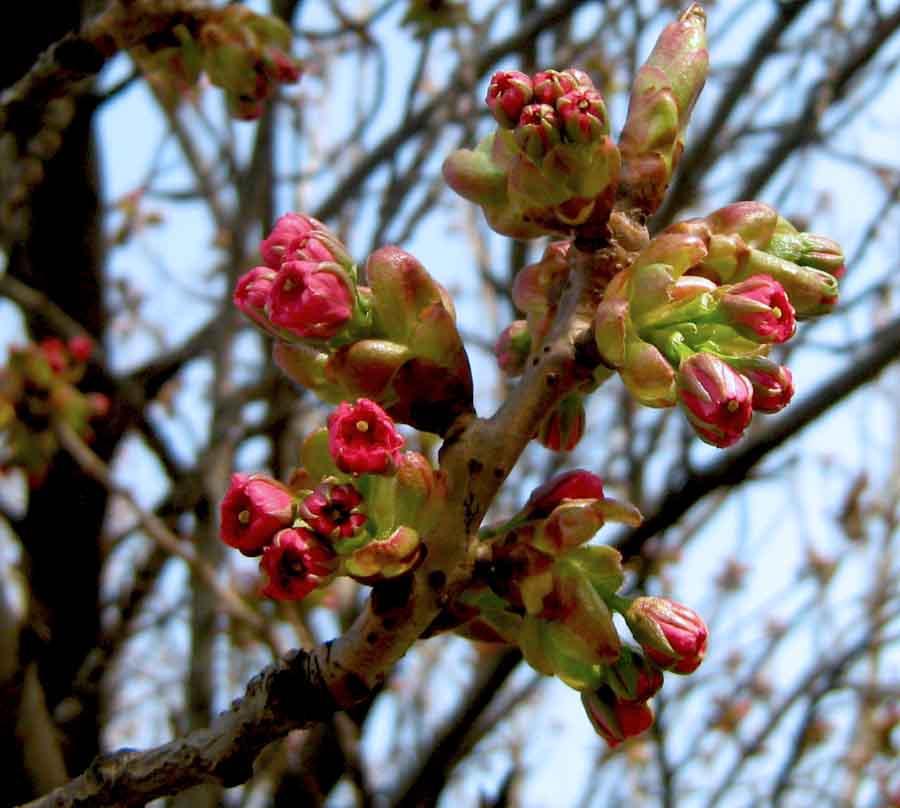 japan cseresznyevirág