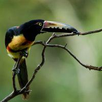 Collared-Aracari12