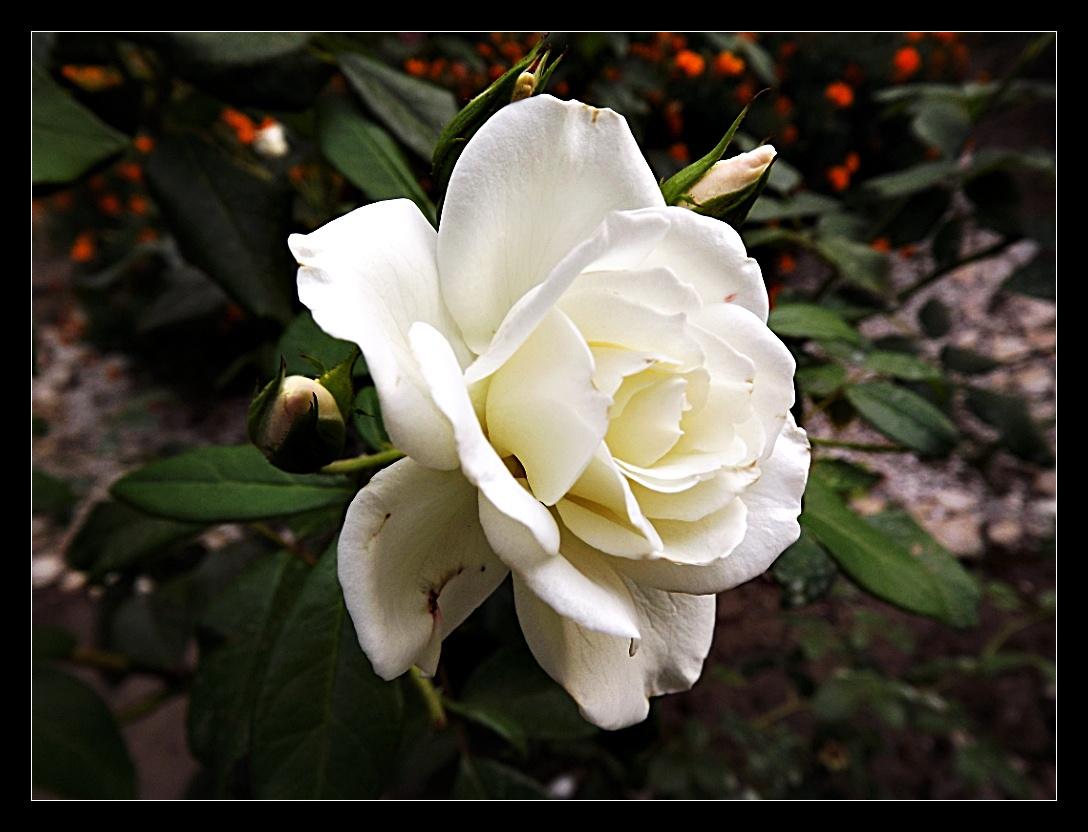 Etelka rózsája :)