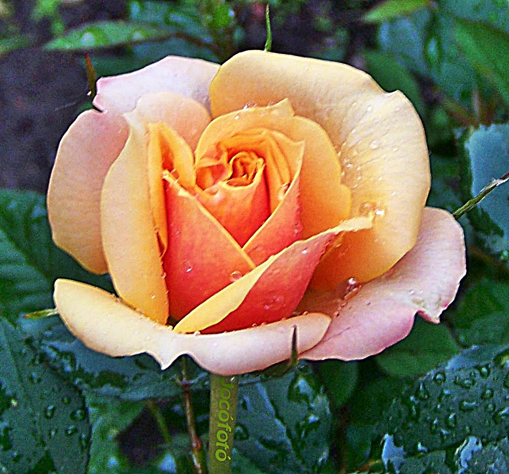 Rózsáim 7499