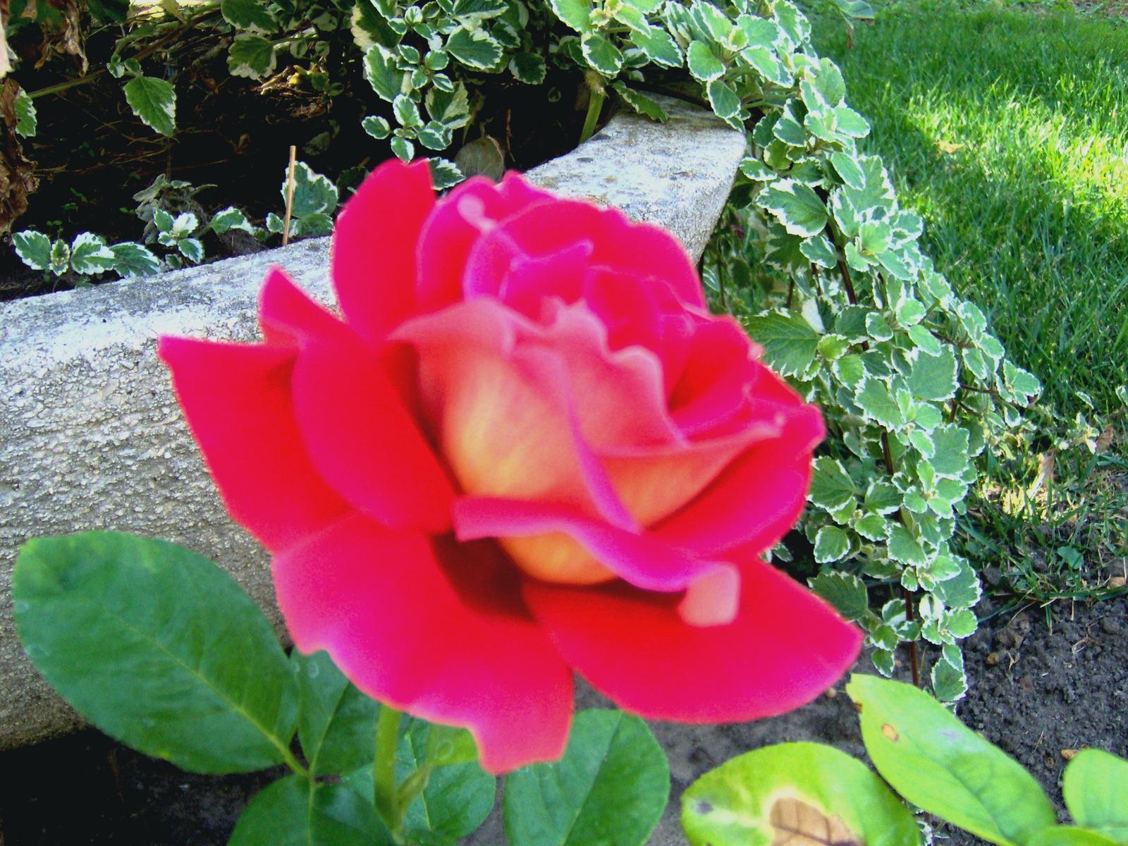 Egyik  kedvenc  rózsám