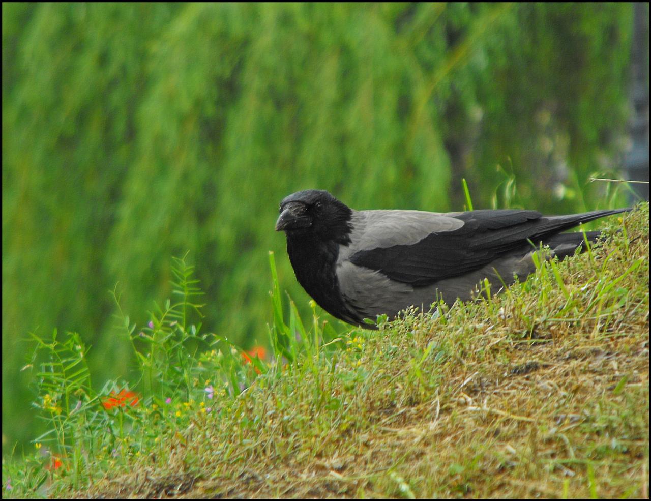 Dolmányos varjú