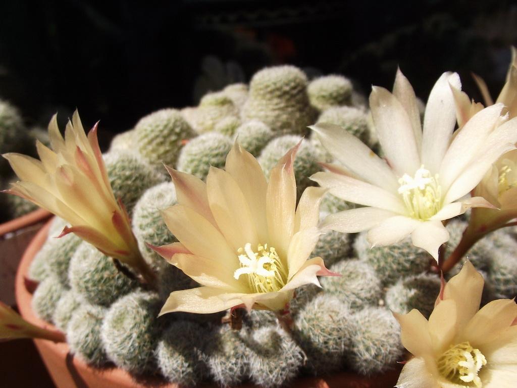 A kaktusz virága