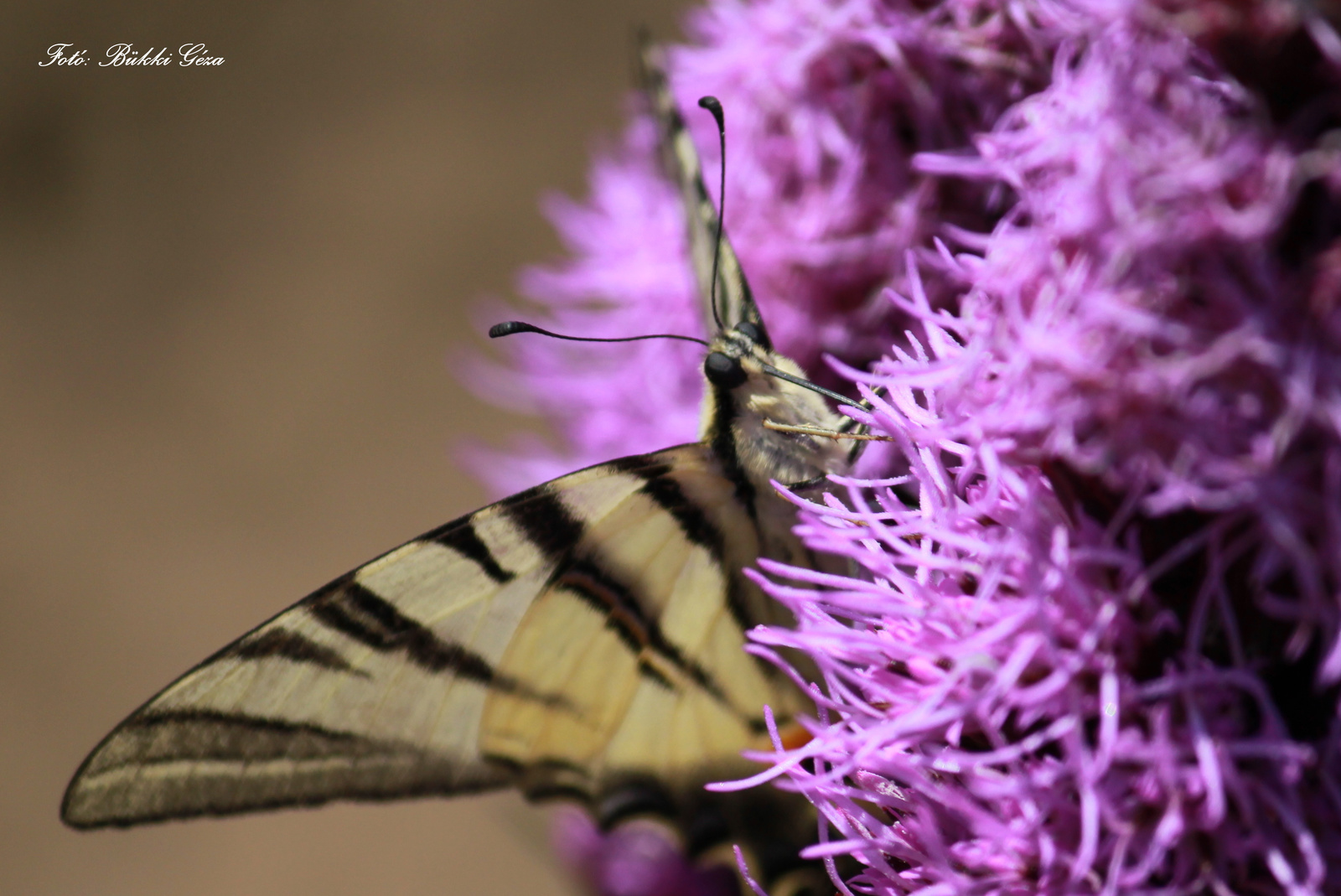 Kardos pillangó