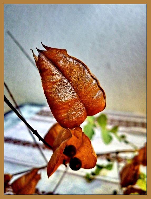 Csörgőfa termése